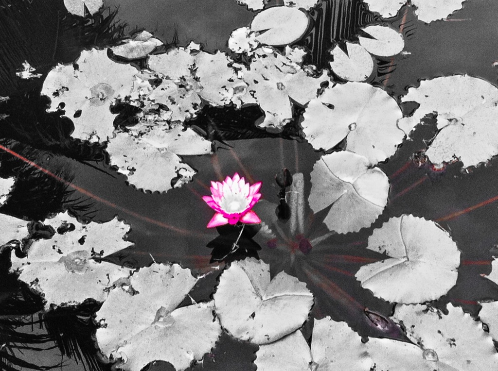 Lotusflower2